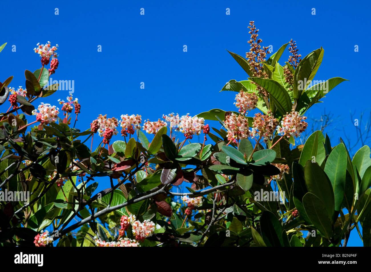 Chapada dos Veadeiros, Wild Flower, Alto Paraíso, Goiás Brasil - Stock Image