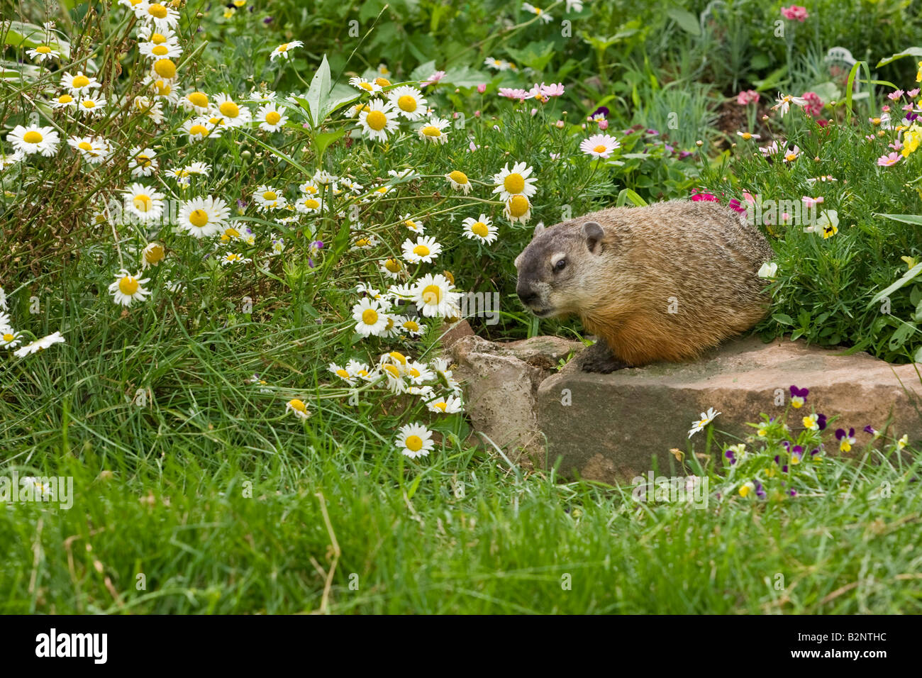Woodchuck (Marmota monax) in flower garden - Stock Image