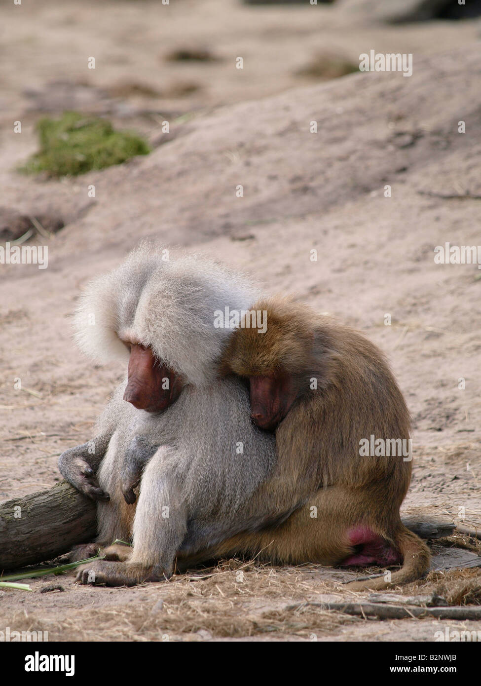 Cute baboon couple holding each other tight Beekse Bergen zoo Hilvarenbeek the Netherlands - Stock Image