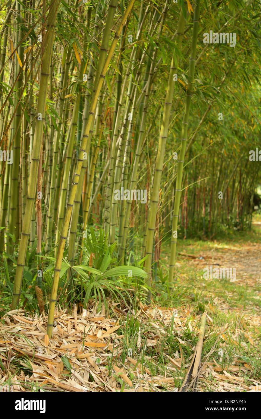 Bamboo grove - Stock Image
