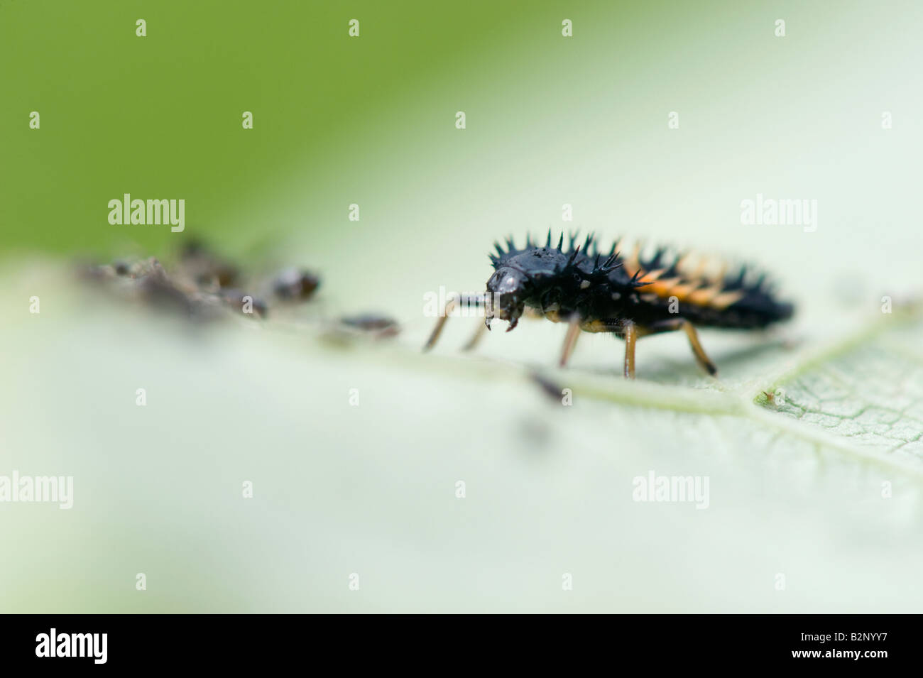 Harmonia axyridis. Harlequin ladybird larvae on a leaf with blackly aphids. UK Stock Photo