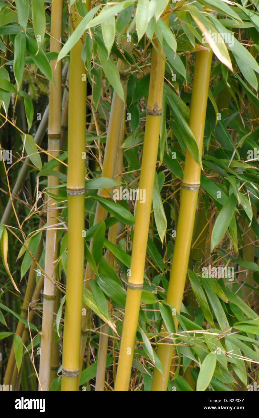 Bamboo (Phyllostachys propinqua), stems with leaves - Stock Image