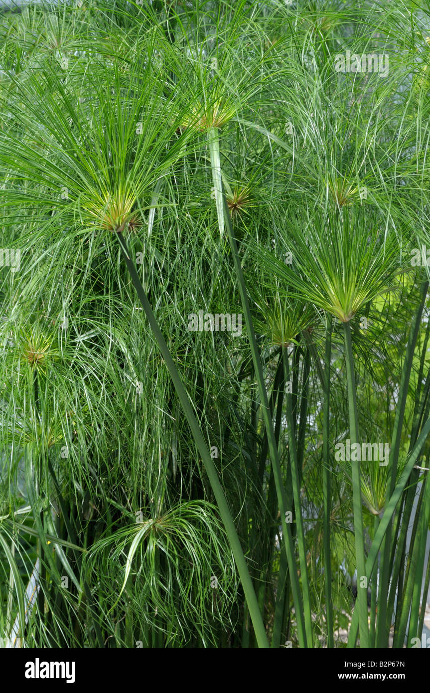 Egyptian Paper Plant, Papyrus Sedge, Paper Reed (Cyperus papyrus), stems and leaves - Stock Image