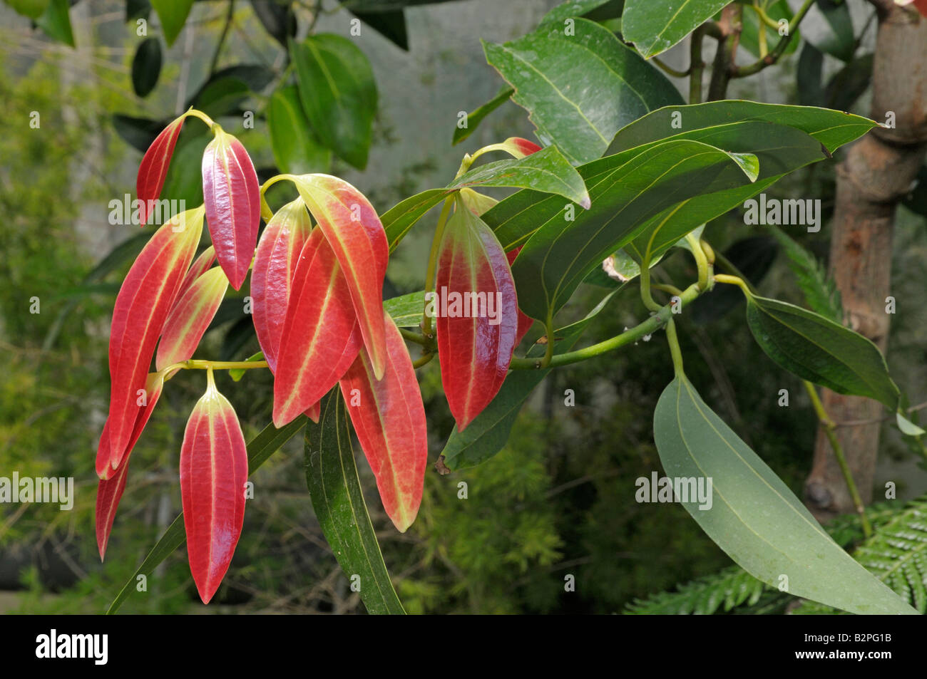 Cassia Bark, Chinese Cinnamon (Cinnamomum aromaticum) twig with red leaves - Stock Image