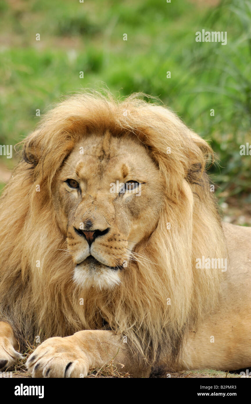Portrait of an African lion male Panthera leo krugeri - Stock Image