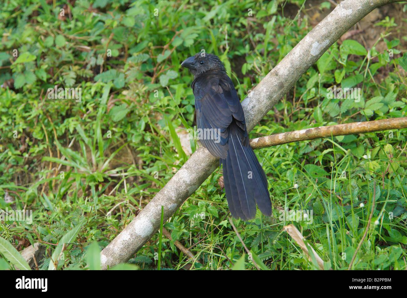 Smooth billed Ani Crotophaga ani - Stock Image