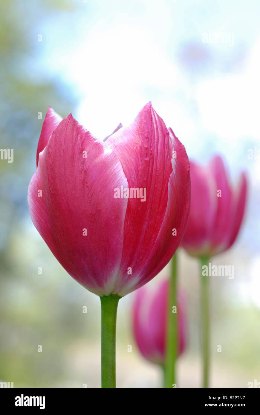 Pink Tulips - Stock Image