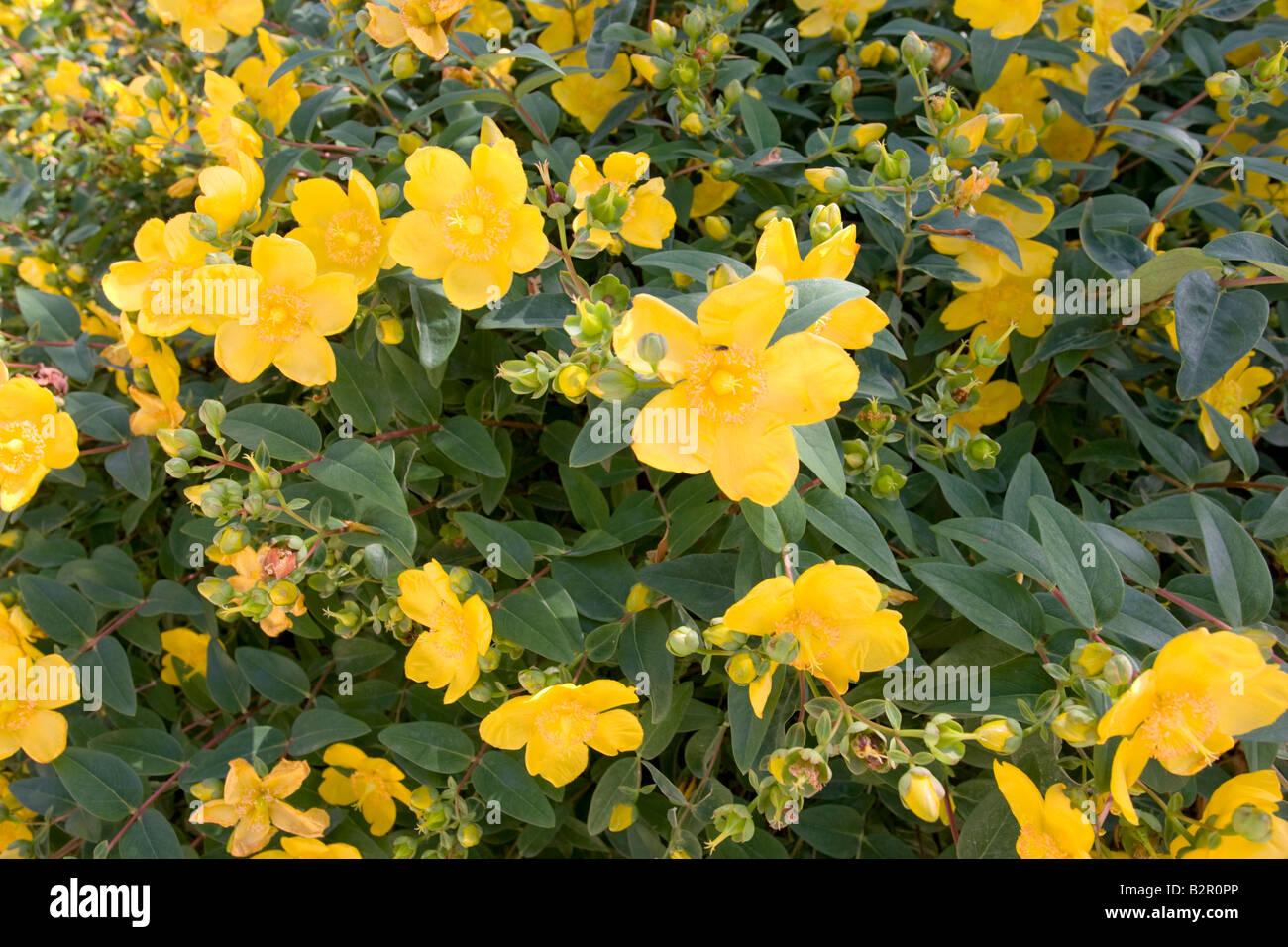 Rose Of Sharon St Johns Wort Hypericum Calycinum Cotswolds Uk Stock