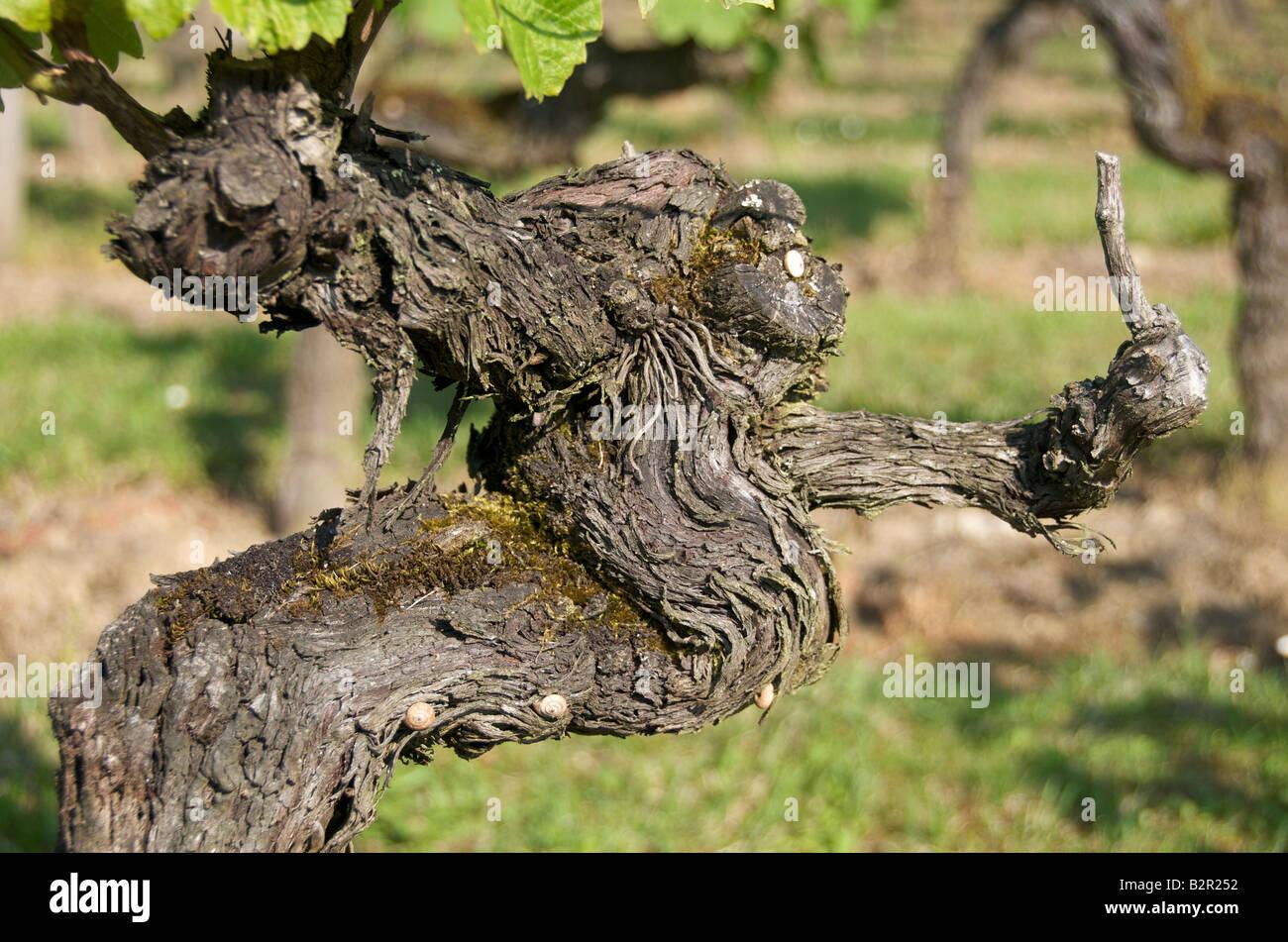 Vine. - Stock Image