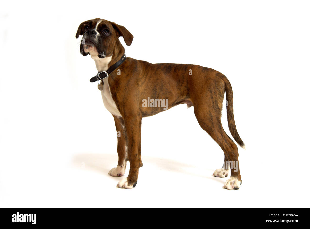 Boxer Dog 6 months old puppy - Stock Image
