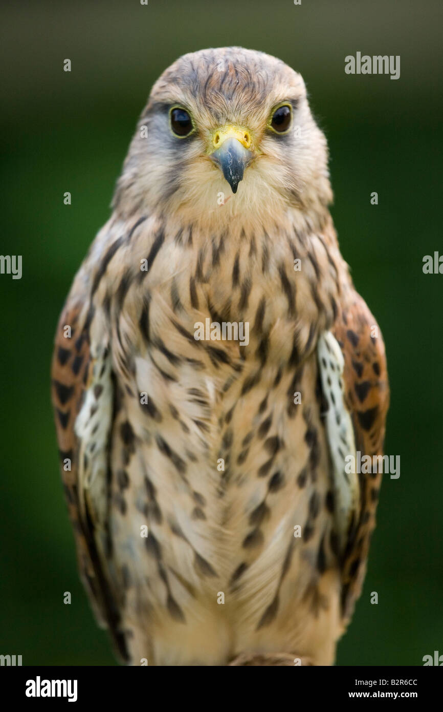 Portrait of single female kestrel at rest on a perch. - Stock Image