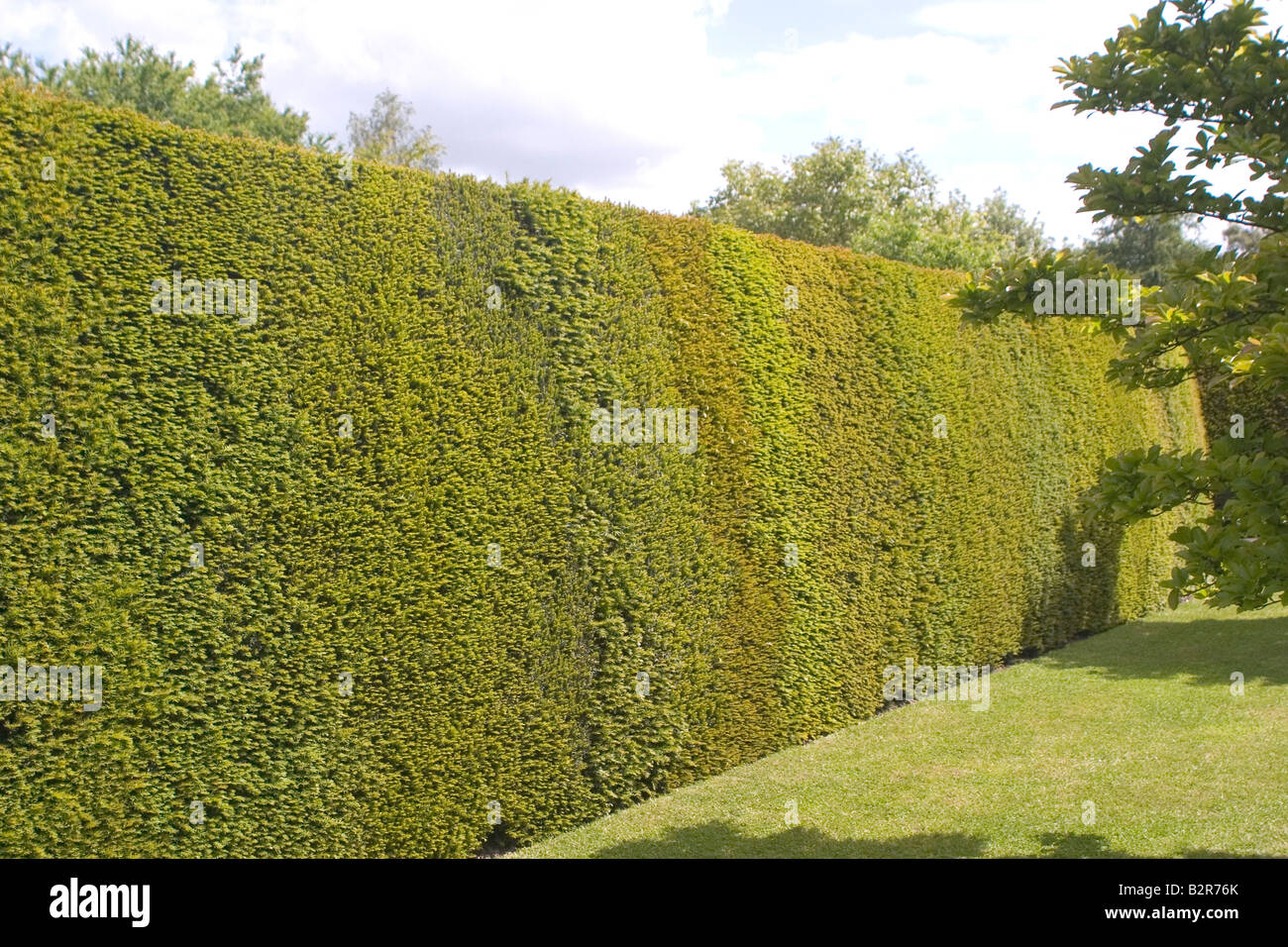 High yew hedge and lawn - Stock Image