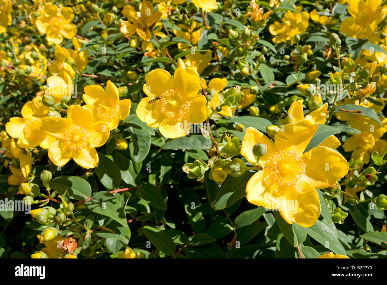 Rose Of Sharon St Johns Wort Hypericum Calycinum Cotswolds