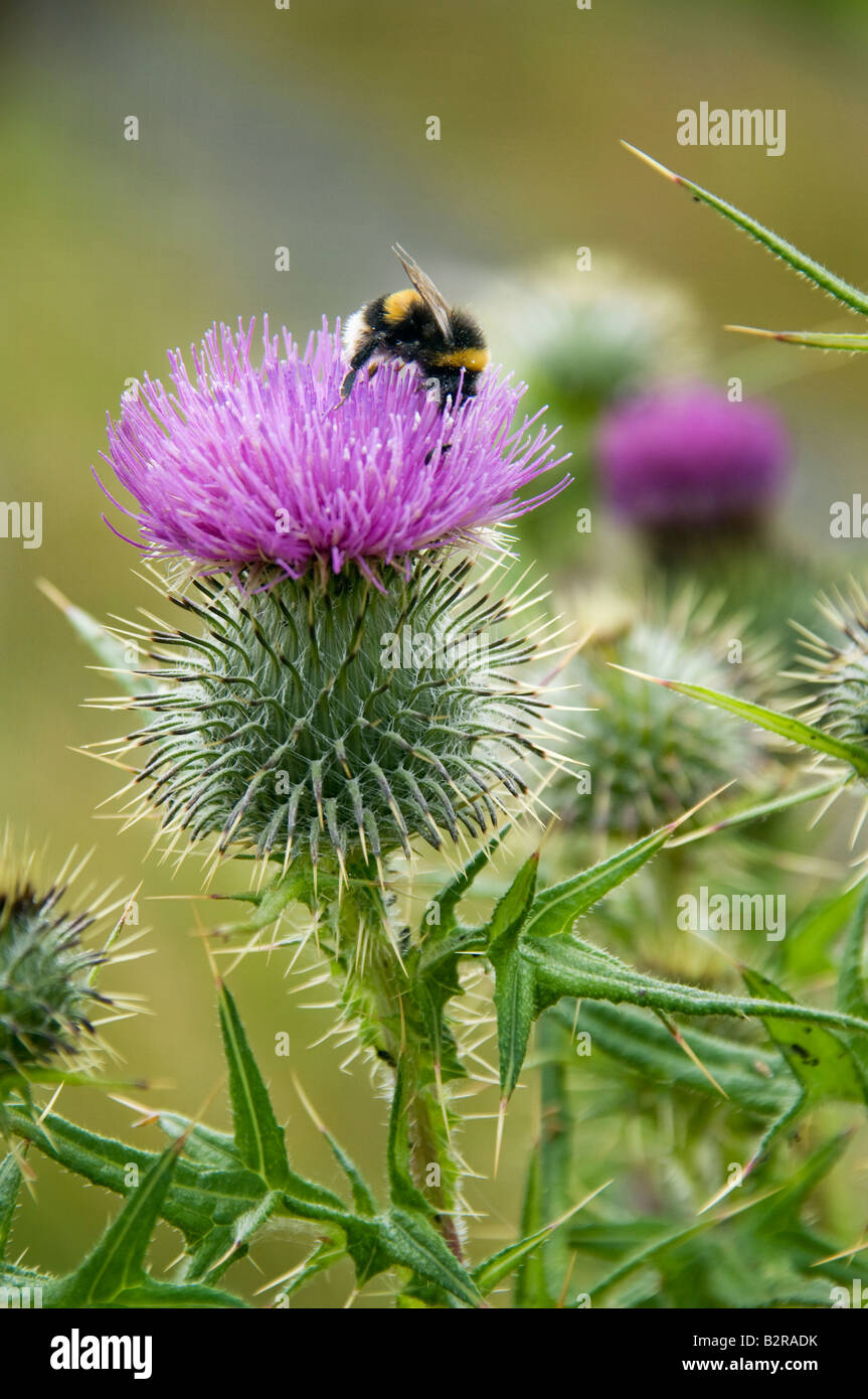 Scottish Thistle Stock Photos Amp Scottish Thistle Stock