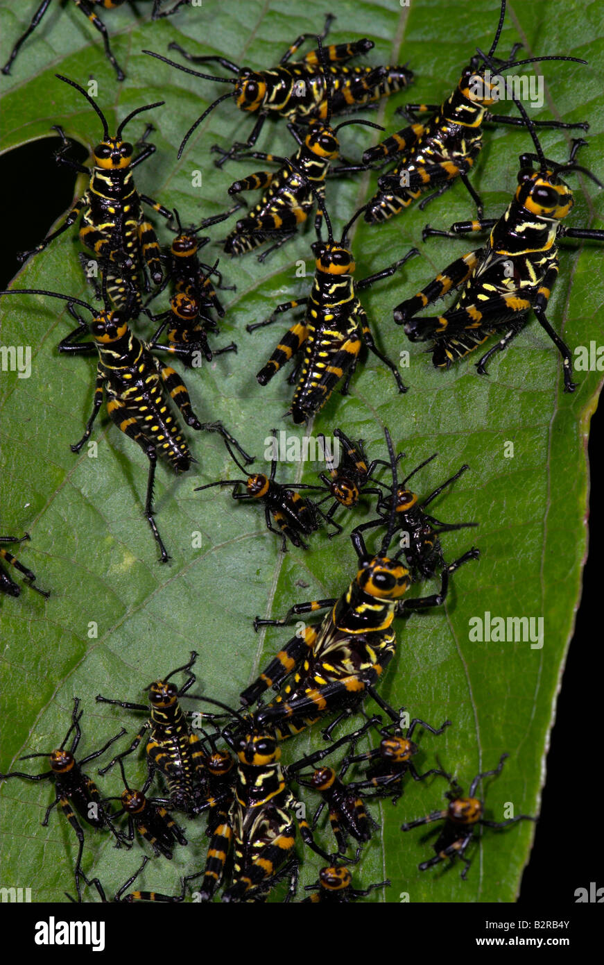 An aggregation of aposematically colored grasshoppers Costa Rica - Stock Image