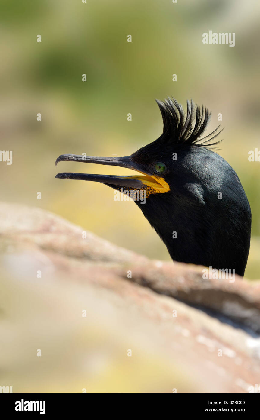 Shag emerging from behind rock, Farne Islands, UK - Stock Image