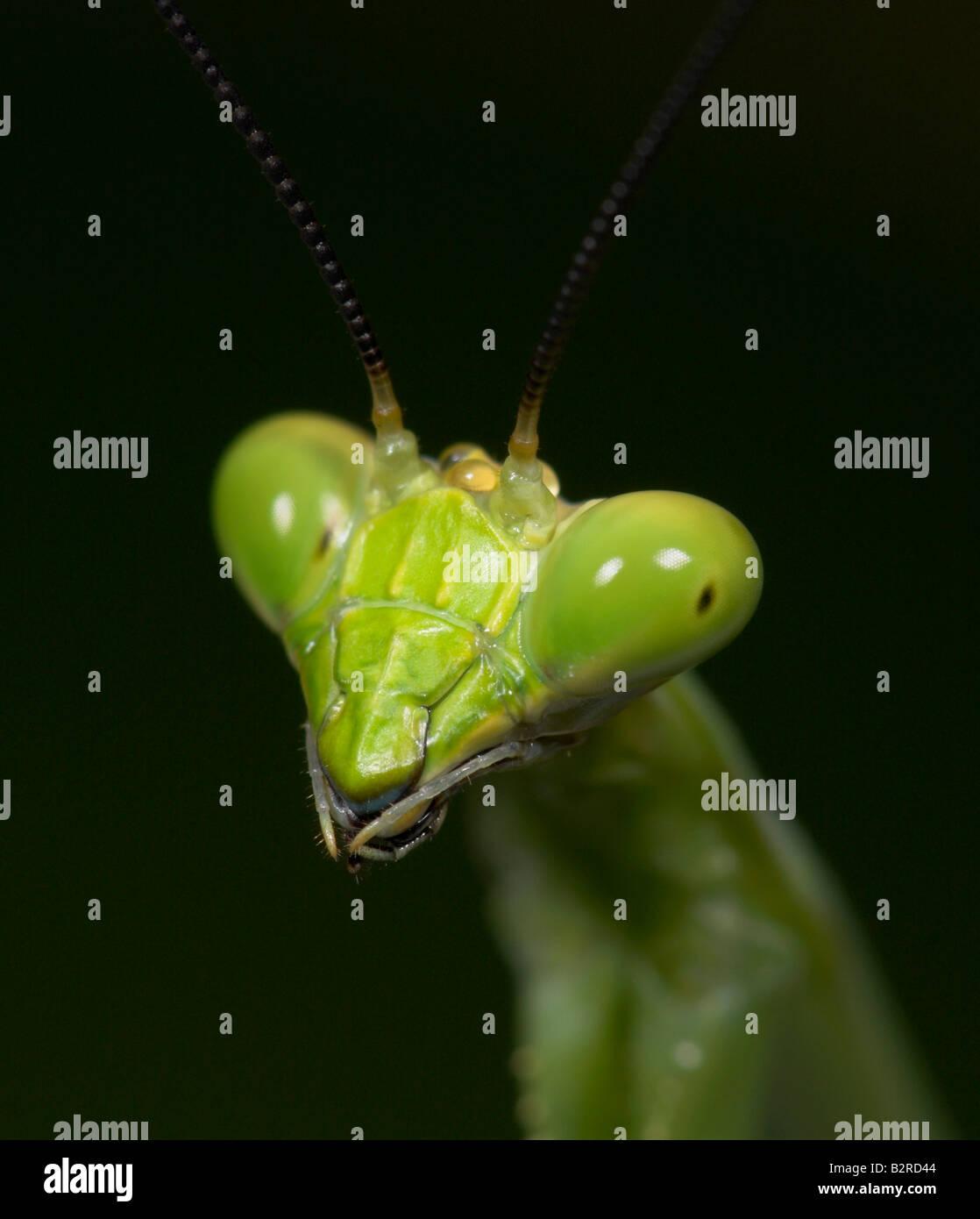 Praying Mantis FamilyMantidae Costa Rica - Stock Image