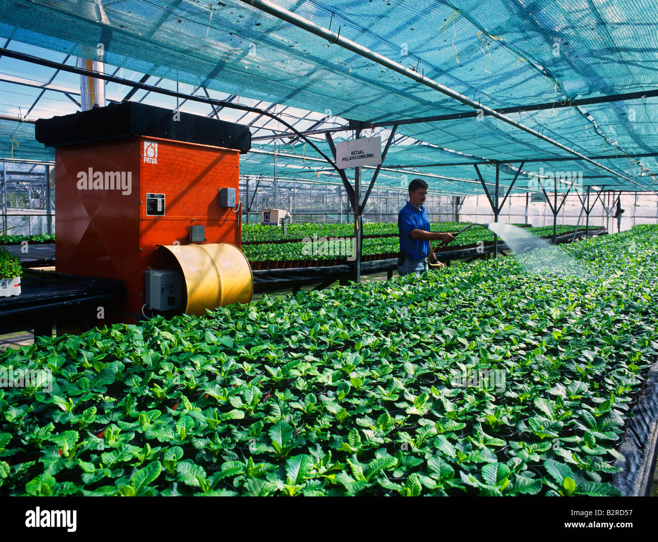 Gardener watering plants in a polytunnel. - Stock Image