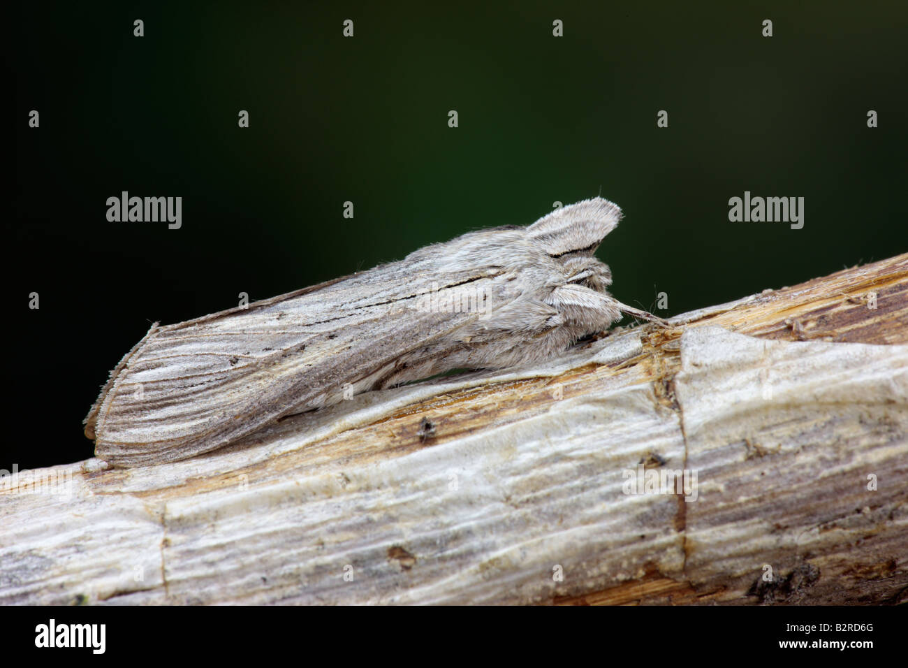 The Shark Cucullia umbratica at rest Potton Bedfordshire - Stock Image