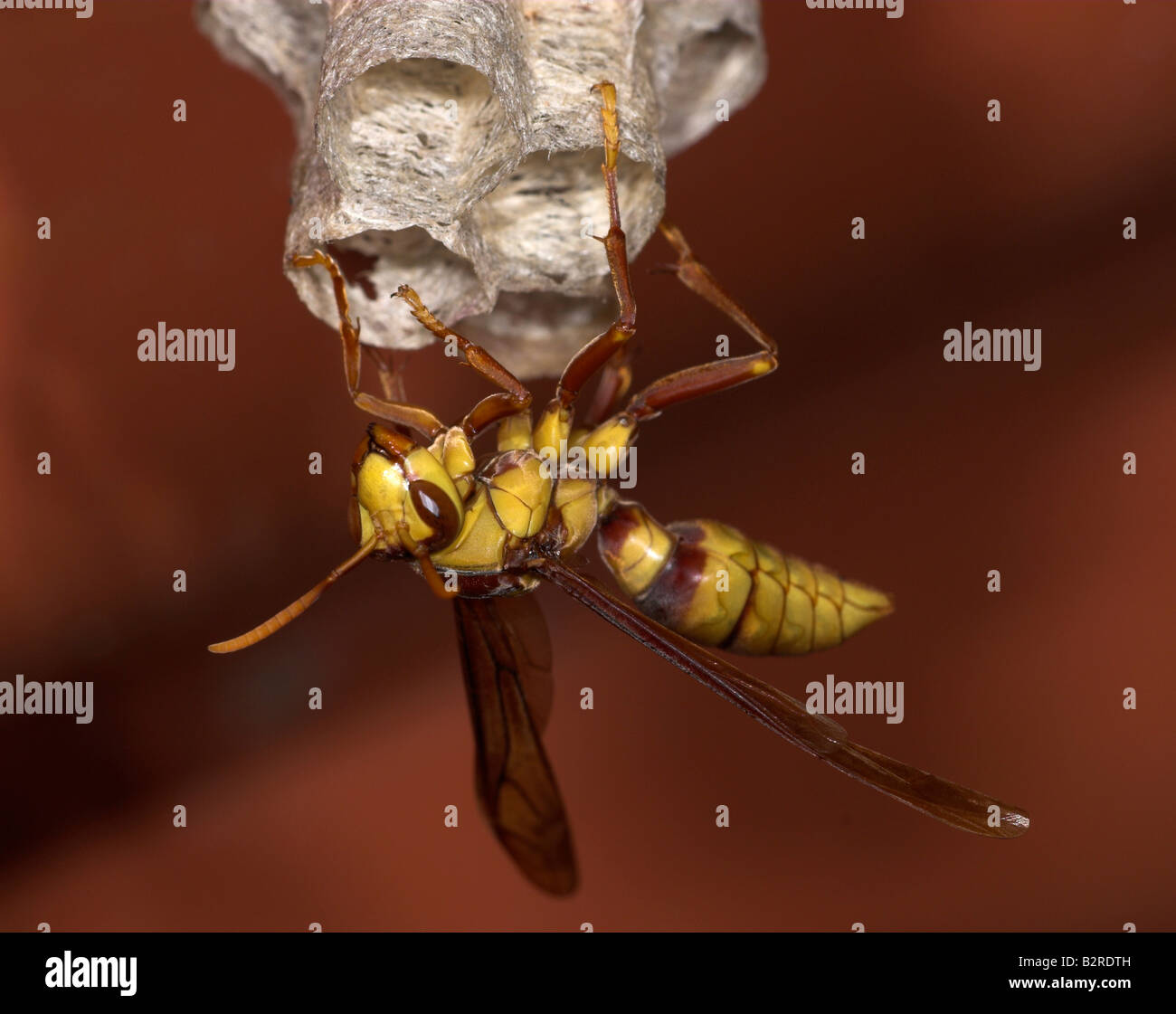 Paper Wasp subfamily Polistinae Costa Rica Stock Photo