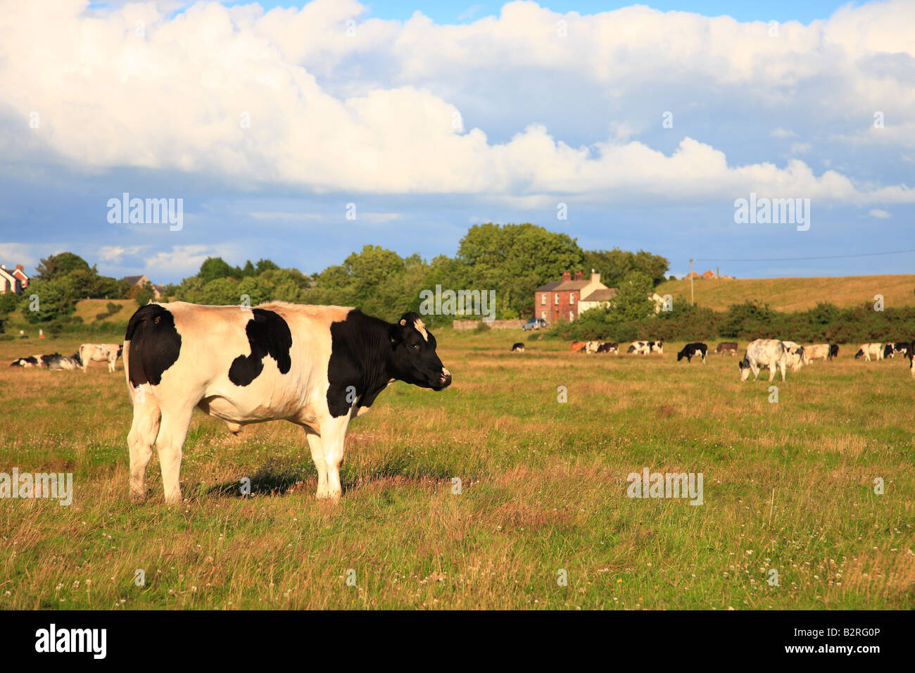 Bullock on rough salt marsh pasture. Bowness on Solway Cumbria, England, United Kingdom. Summers evening. Stock Photo