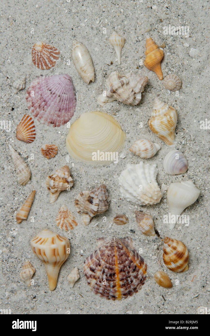 A variety of Mollusk shells collected from Sanibel Island Florida Gulf Coast - Stock Image
