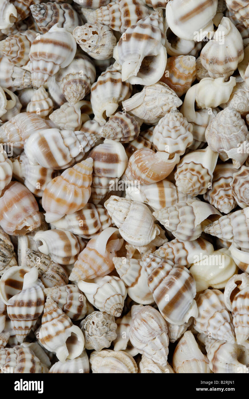 A collection of small gastropod shells Gastropods are single shelled mollusks - Stock Image