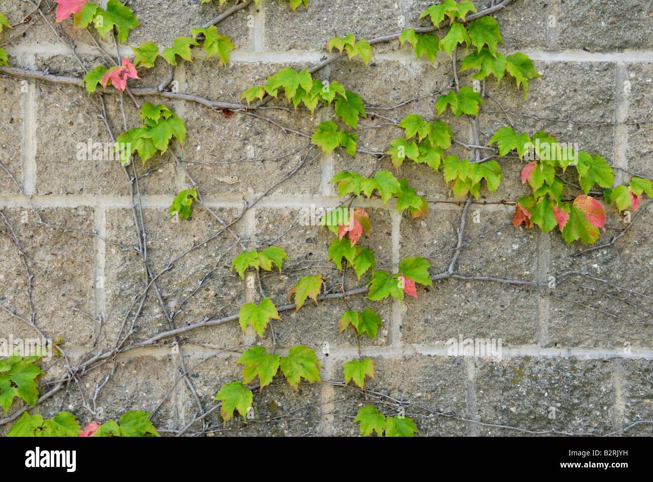 Japanese creeper Parthenocissus tricuspidata - Stock Image