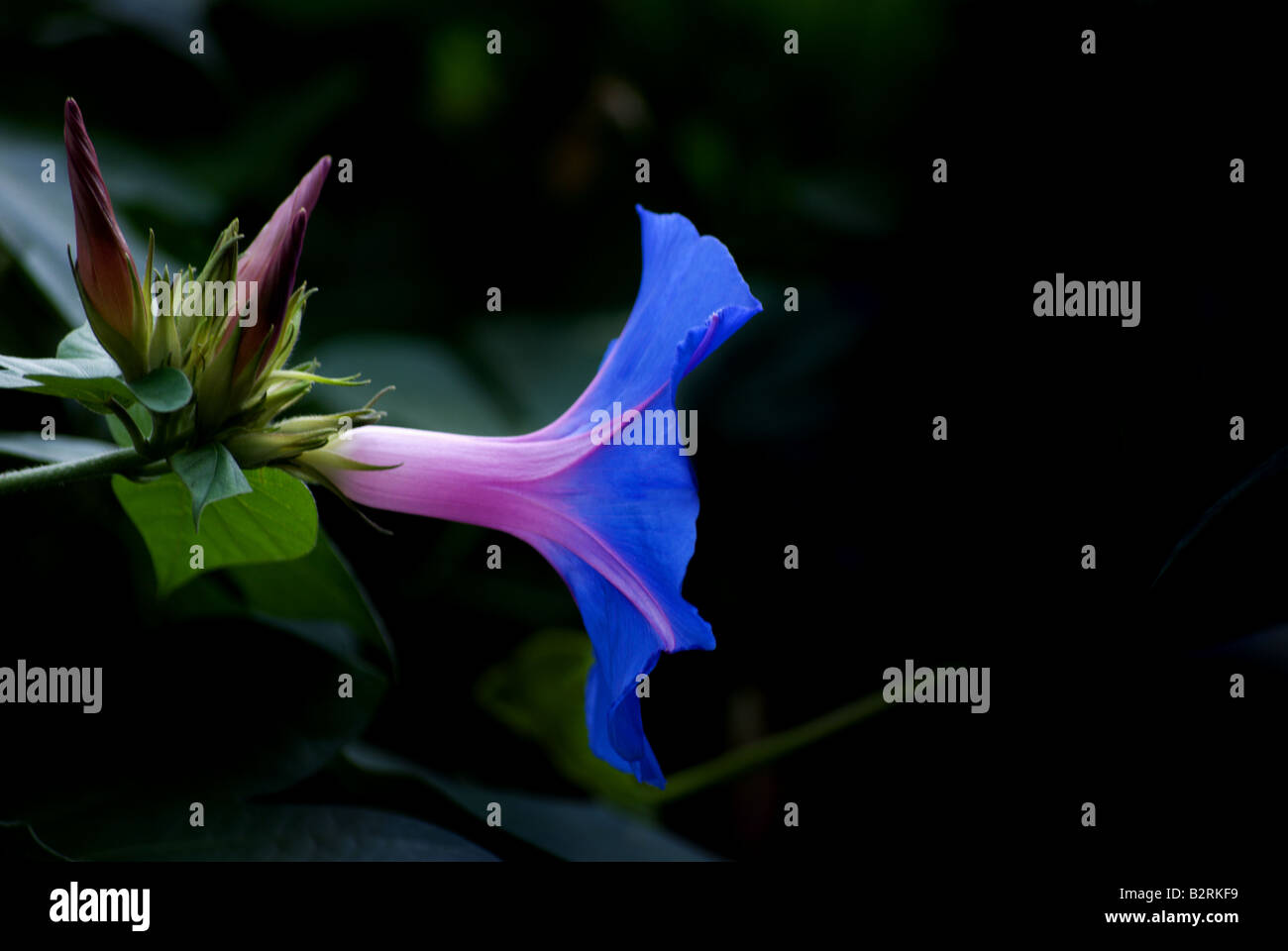 Single blossom of a heavenly blue morning glory on a near black background. - Stock Image