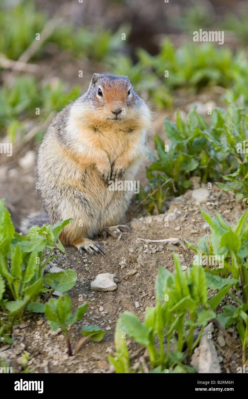 Columbian Ground Squirrel (Citellus columbianus) Stock Photo