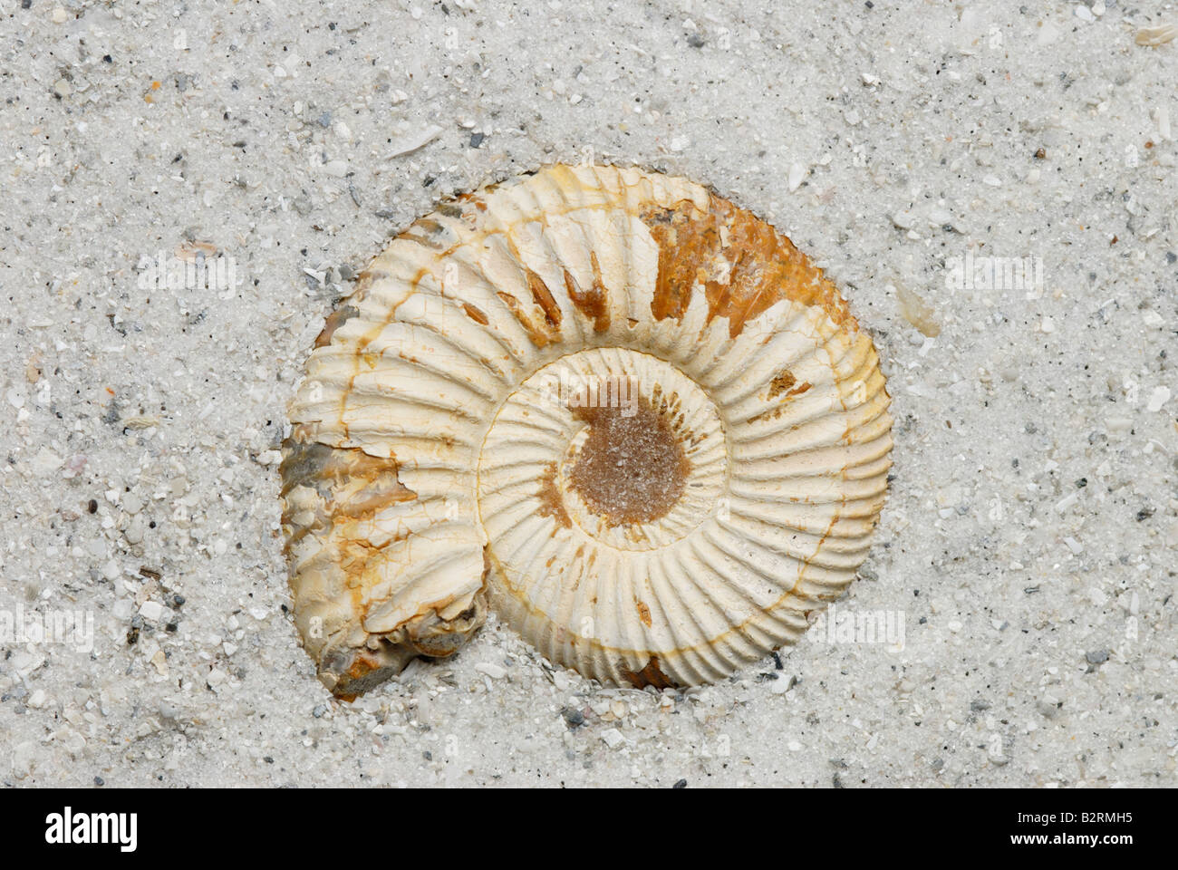 External view of an ammonite fossil Perisphinctes sp from Madagascar Jurassic Period - Stock Image