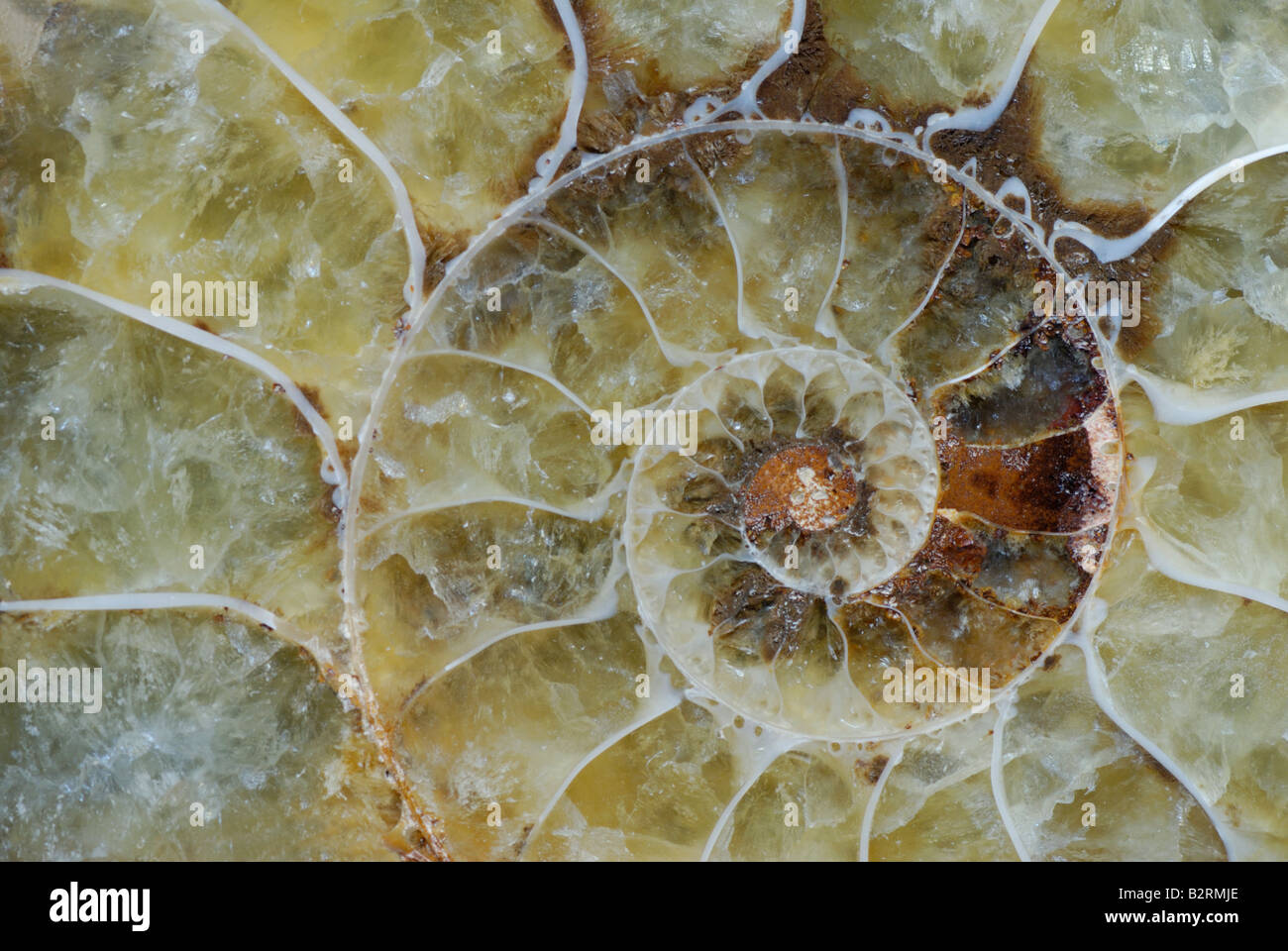 Ammonite fossil from Madagascar Cretaceous Period Stock Photo
