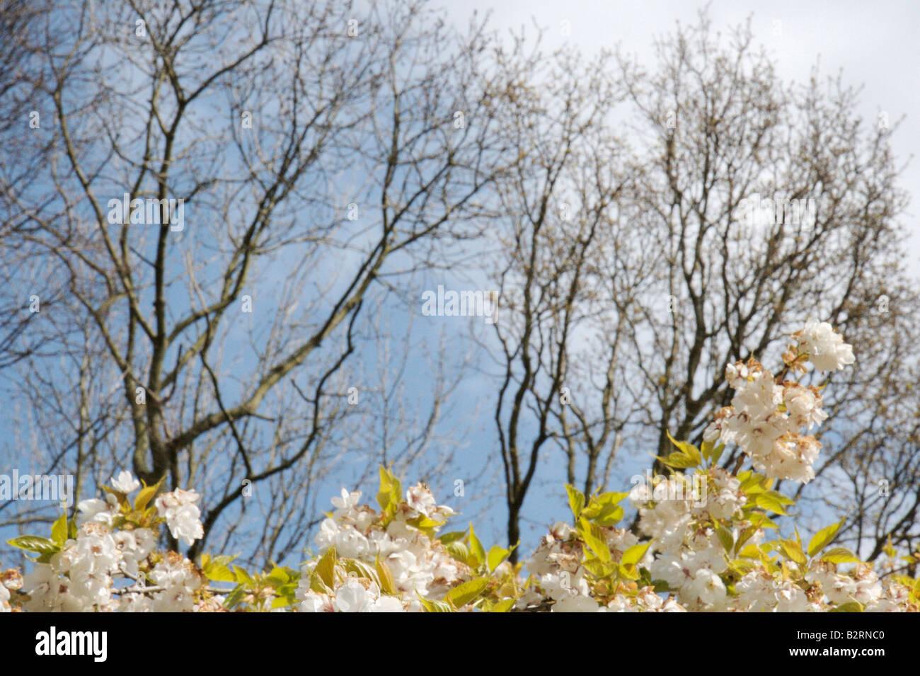 white flowering fruit tree in front of blue sky - Stock Image