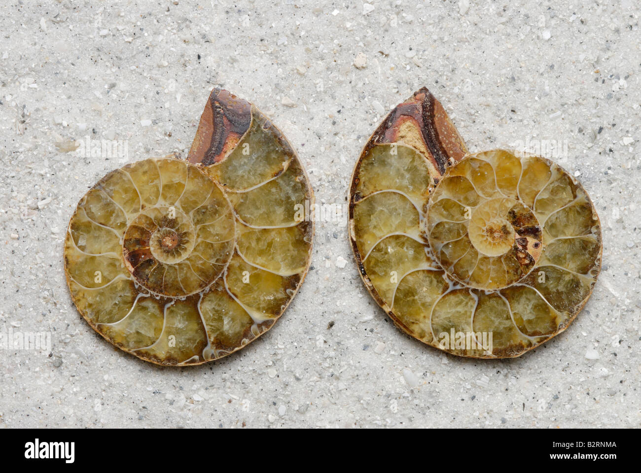 Internal view of a sectioned ammonite fossil Perisphinctes sp from Madagascar Jurassic Period Stock Photo