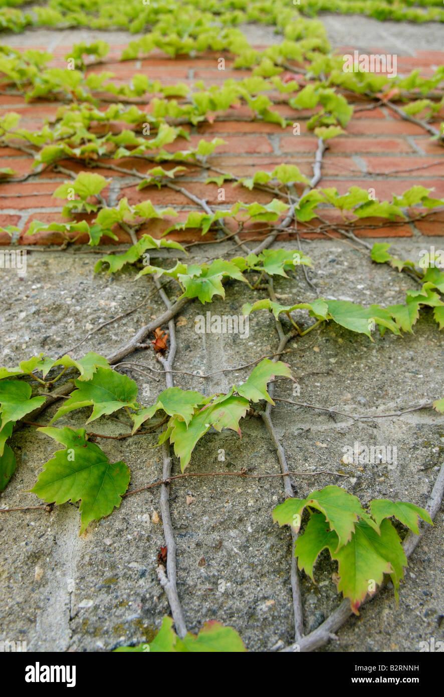 Japanese creeper Parthenocissus tricuspidata, thigmotropism - Stock Image