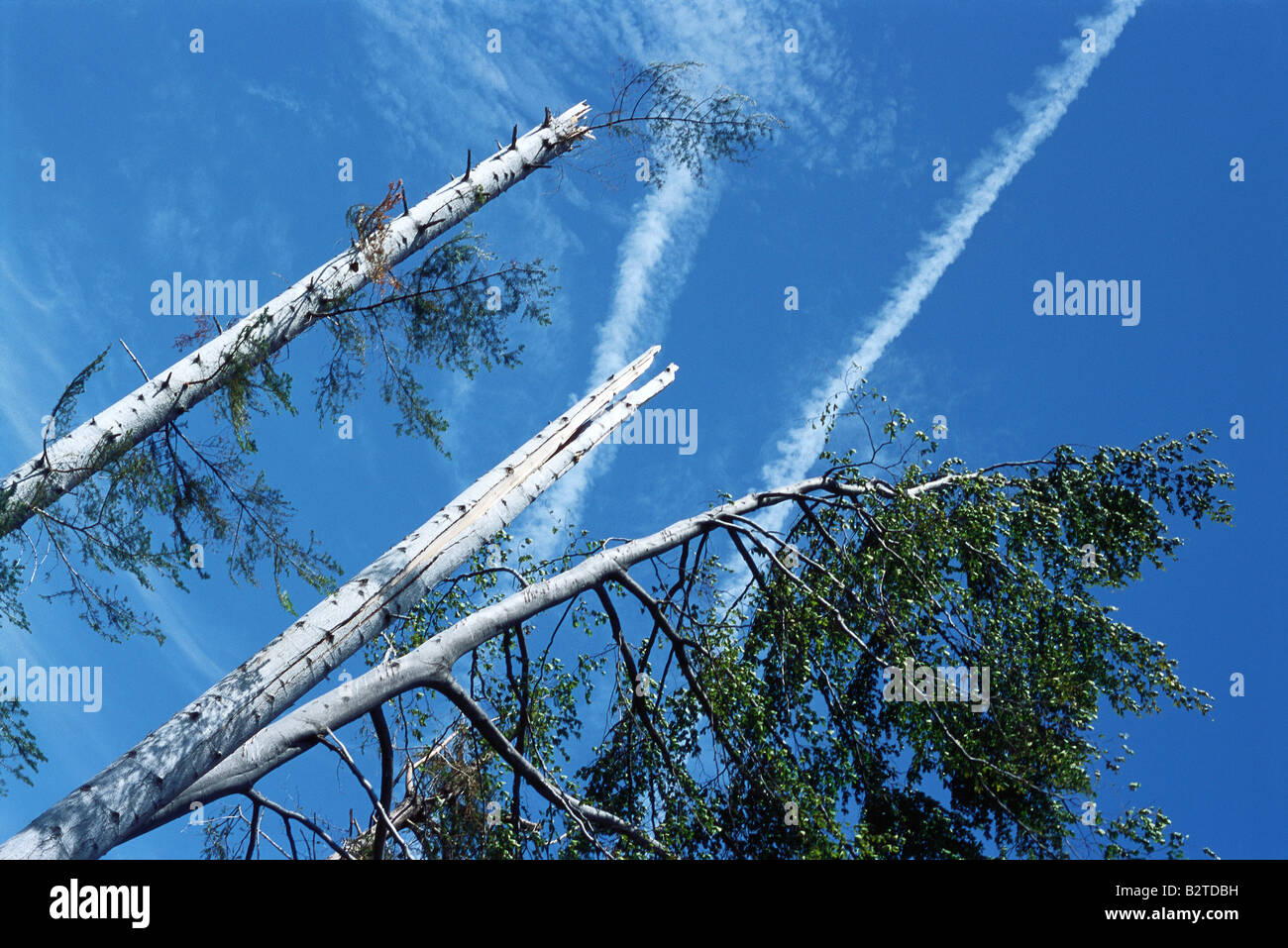 Damaged trees and blue sky, low angle view - Stock Image