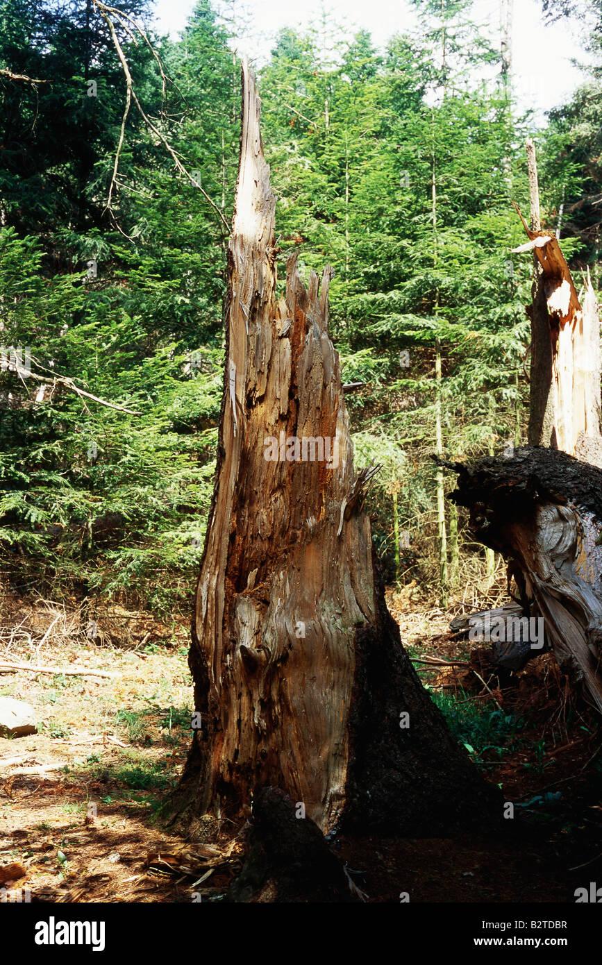 Damaged tree stump - Stock Image