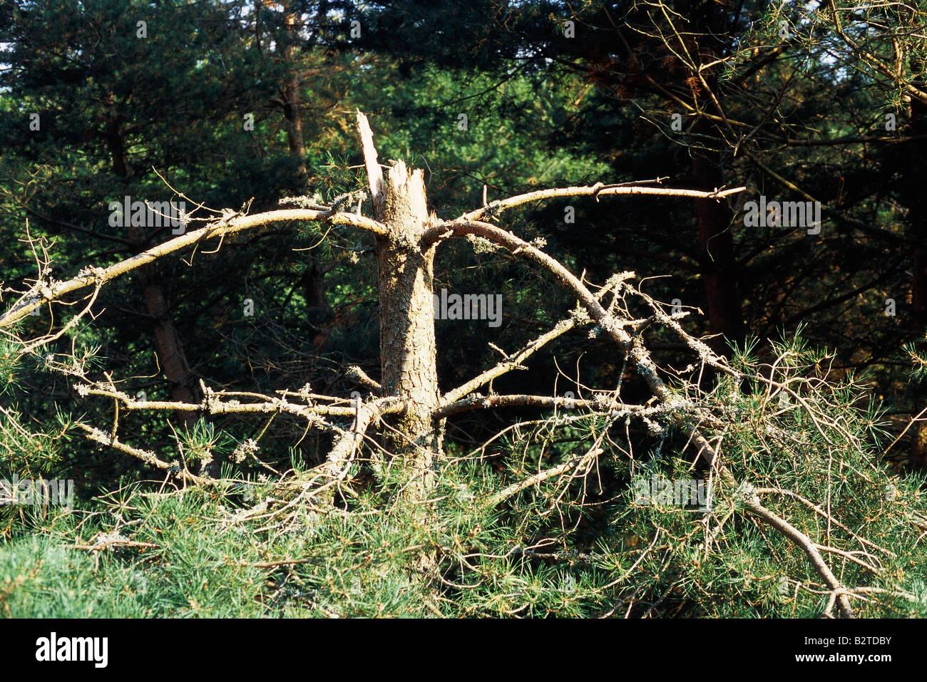 Damaged pine tree - Stock Image
