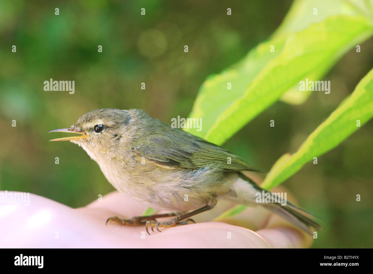 Willow Warbler (Pylloscopus trochilus) - Stock Image