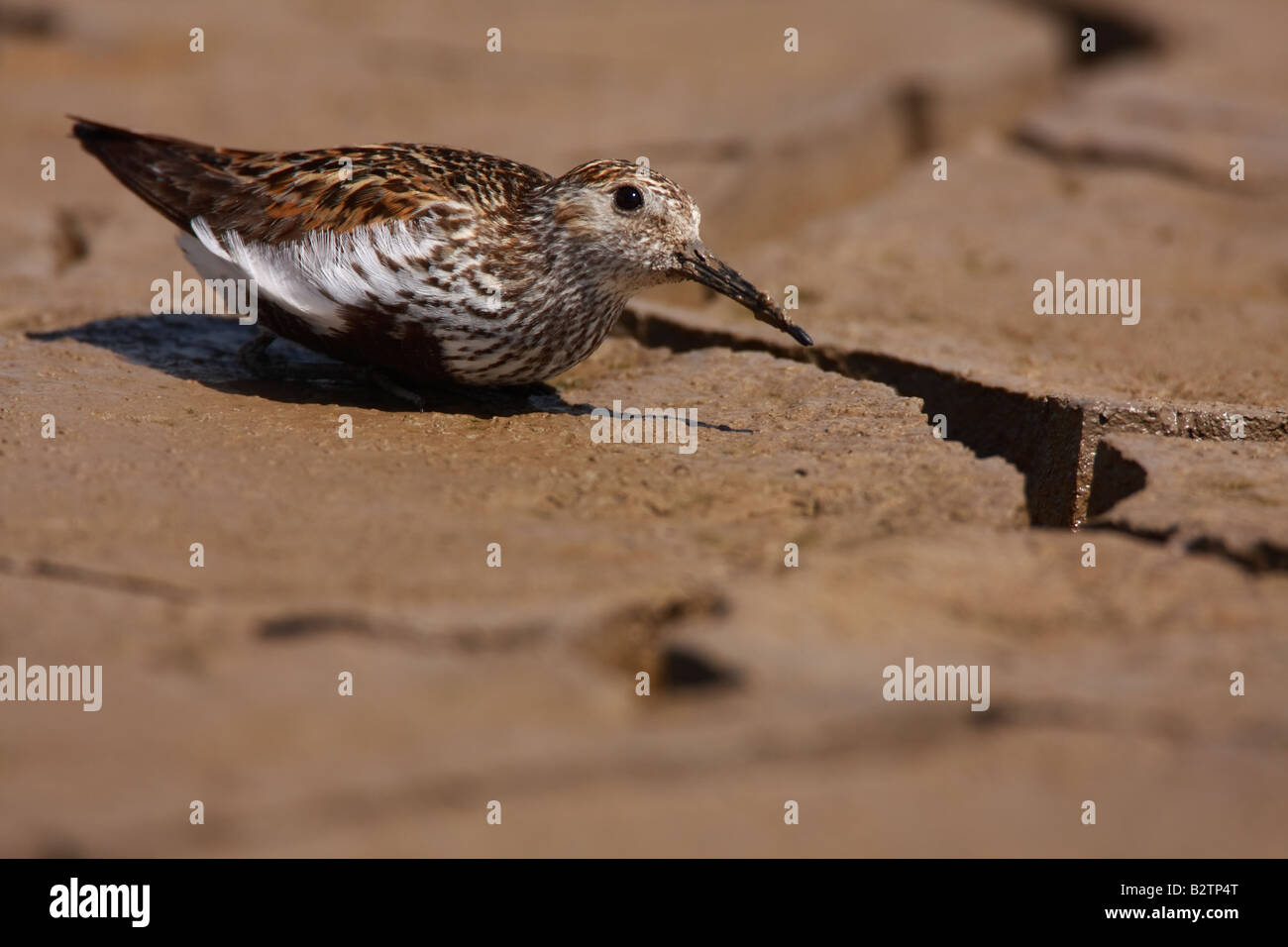 Dunlin, Calidris alpina, trying to avoid the attention of a Peregrine Falcon, Falco peregrinus, UK. - Stock Image