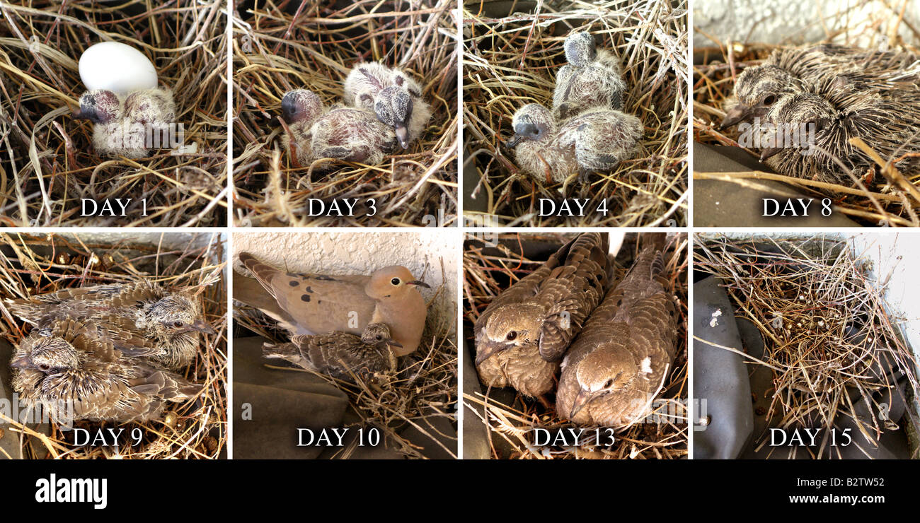 Eight-frame, 15-day, beginning life-cycle of baby doves ...