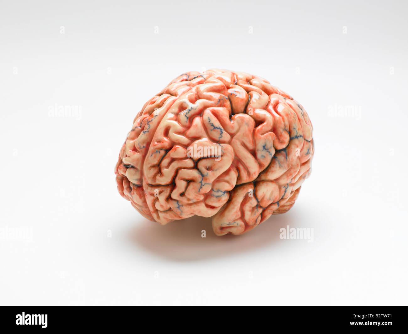 model of a human brain - Stock Image