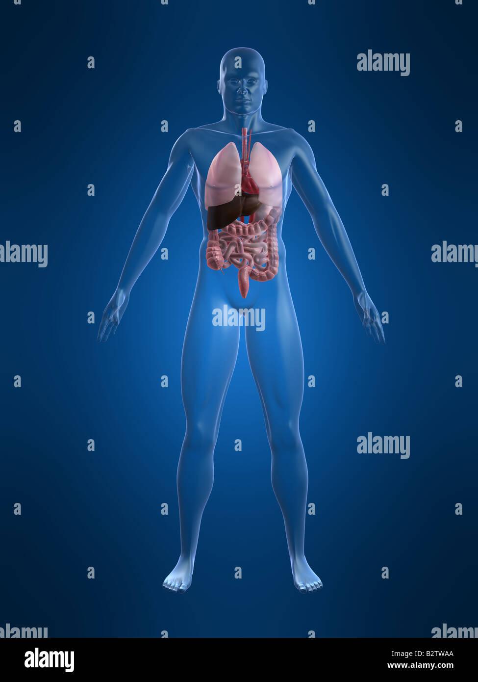 human anatomy - Stock Image