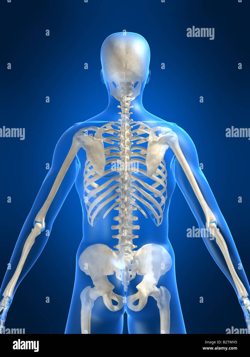 Human Skeleton Backside Stock Photos & Human Skeleton Backside Stock ...