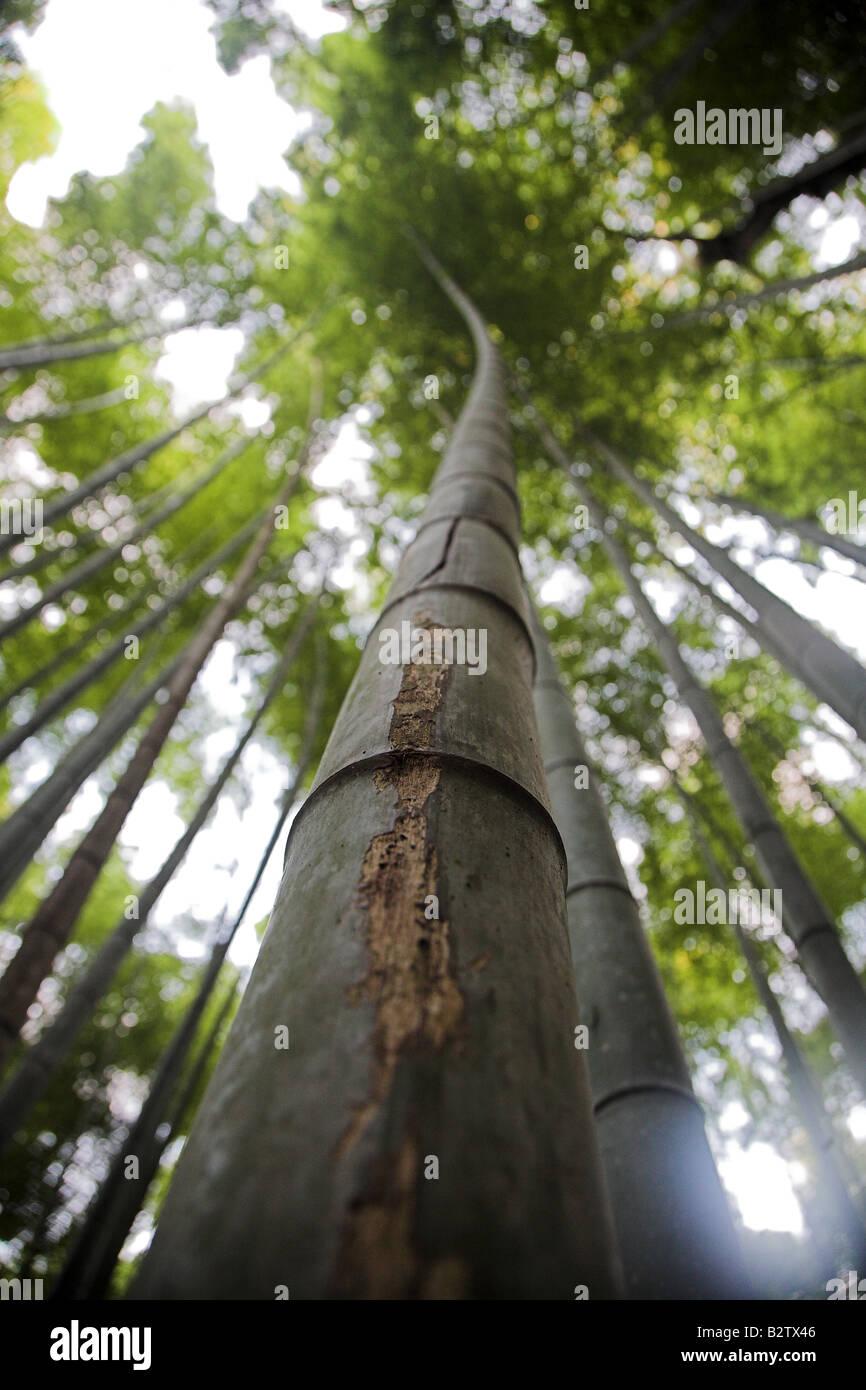 Bamboo trees in the bamboo forest at Arashiyama Park  Park near Kyoto in Japan. Stock Photo