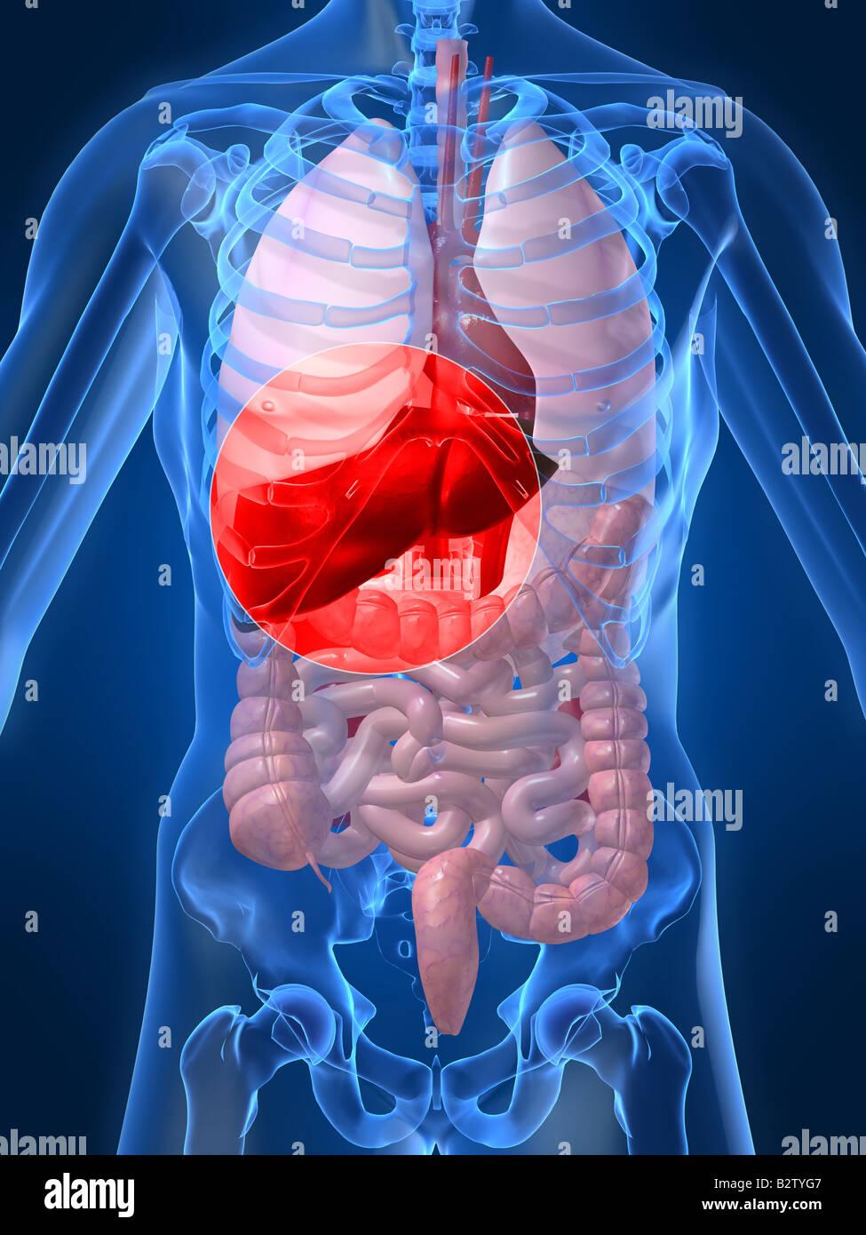 human liver - Stock Image