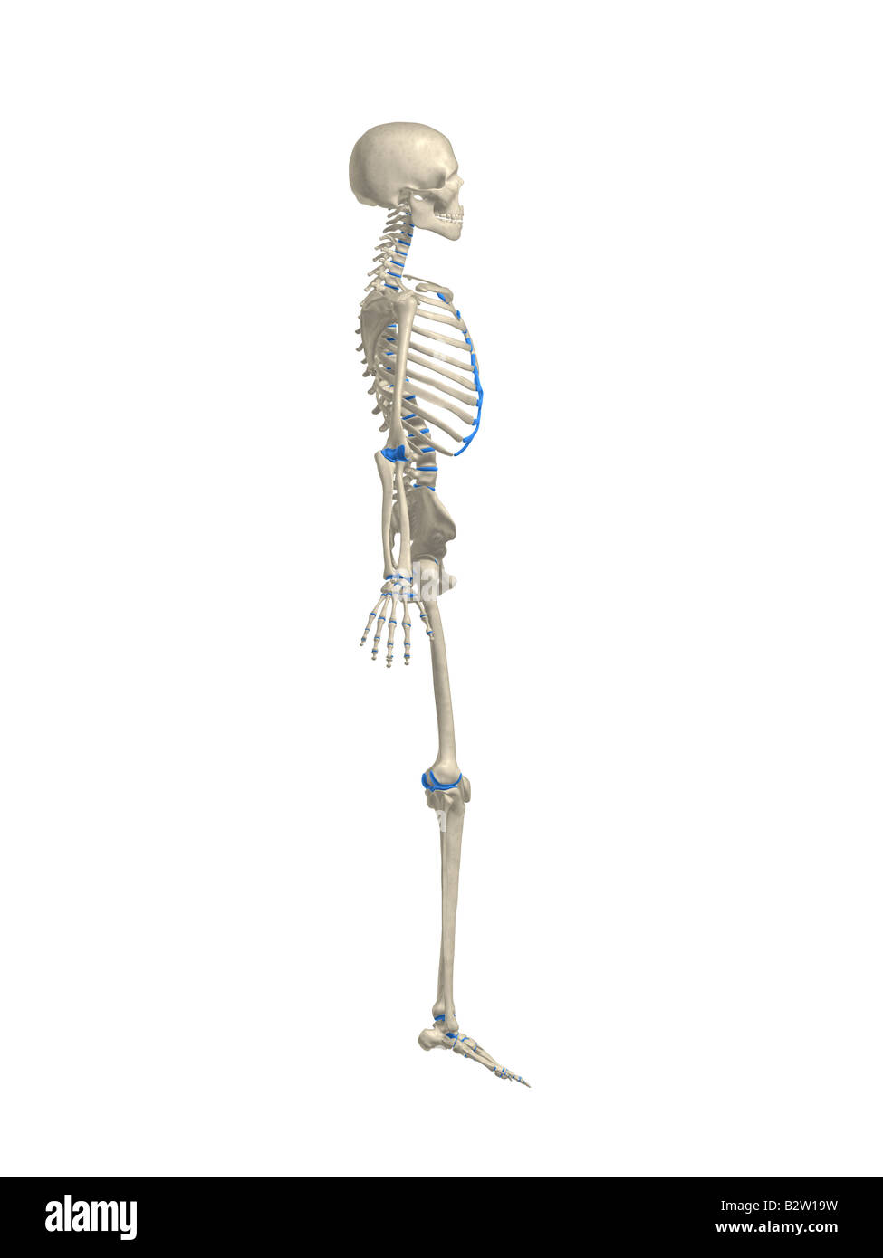 Human Skeleton Side View Stock Photo 18989541 Alamy