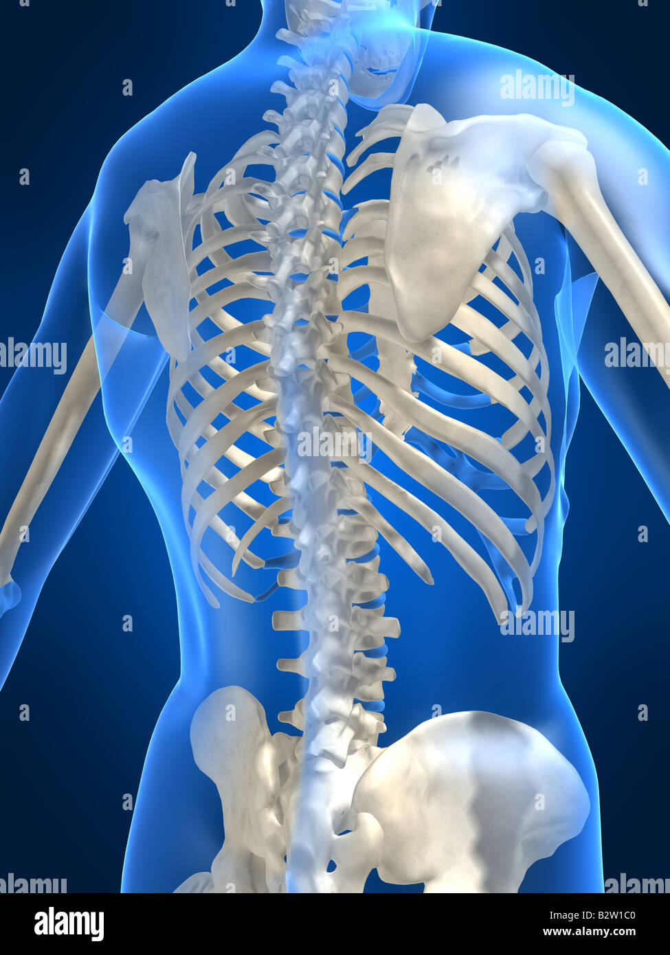 Human Skeleton Backside Stock Photos Human Skeleton Backside Stock
