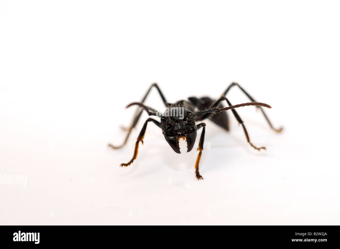 Isula or Bullet Ant Paraponera clavata Stock Photo