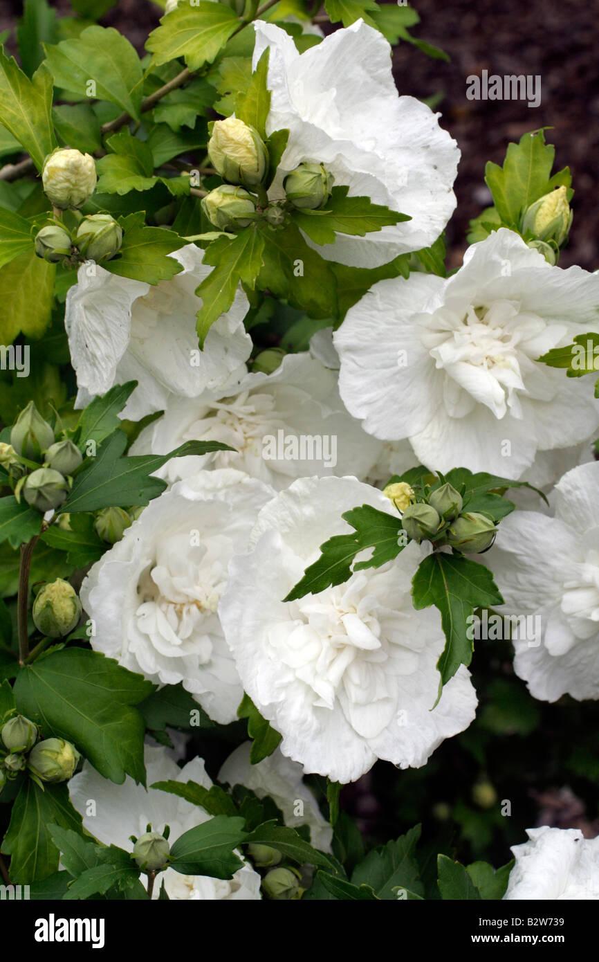 Hibiscus Syriacus White Chiffon Stock Photos Hibiscus Syriacus